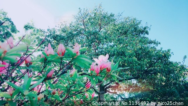 ツツジの蕾の写真・画像素材[1136492]