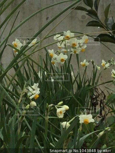 黄色い水仙かわいいの写真・画像素材[1043848]