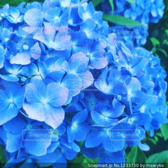 青い紫陽花の写真・画像素材[1233750]