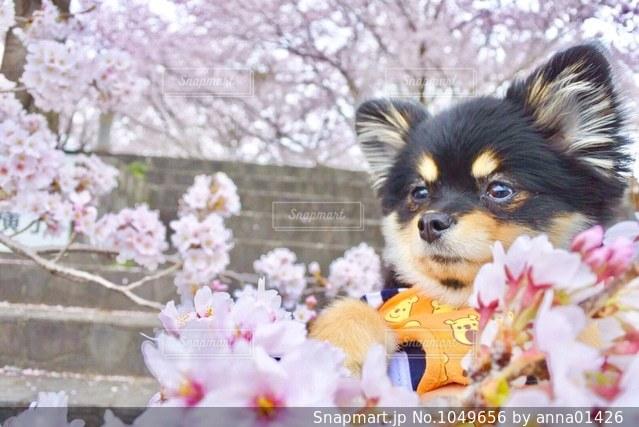 桜を見つめる犬の写真・画像素材[1049656]