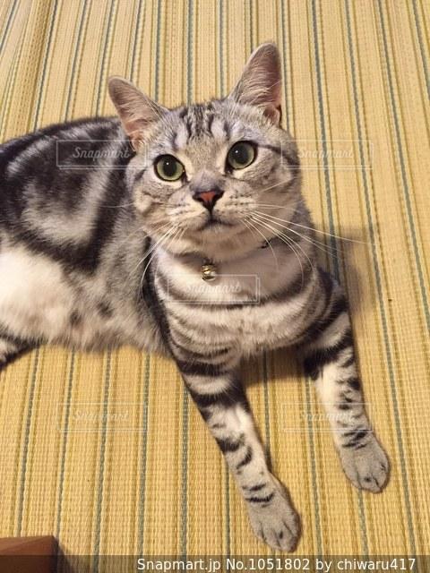 畳の上に横たわる猫の写真・画像素材[1051802]
