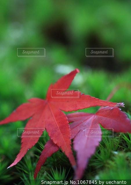 緑の葉と赤い花の写真・画像素材[1067845]