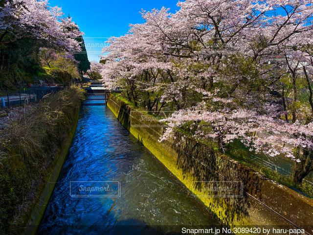 桜と川の写真・画像素材[3089420]