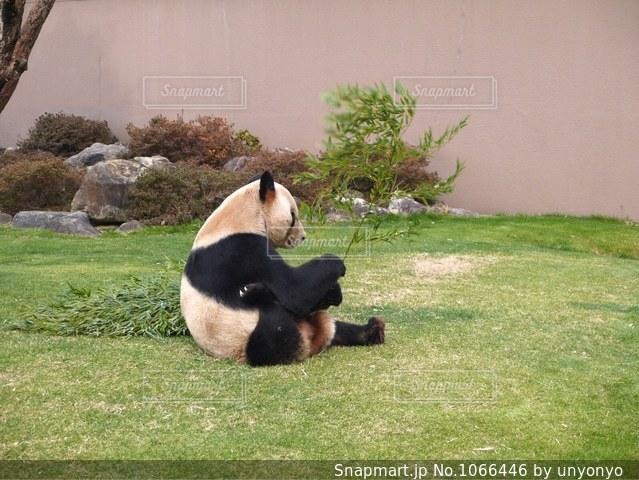 哀愁漂うパンダの写真・画像素材[1066446]