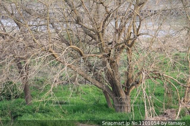 河原の大きな木の写真・画像素材[1101054]