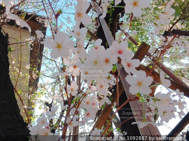 日枝神社の葉桜の写真・画像素材[1092887]