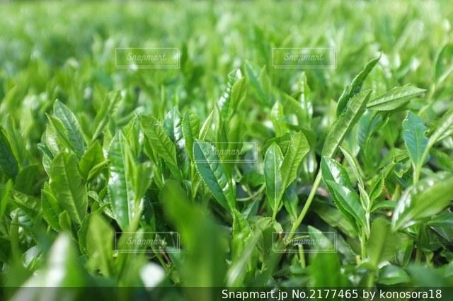 新茶の茶葉クローズアップの写真・画像素材[2177465]