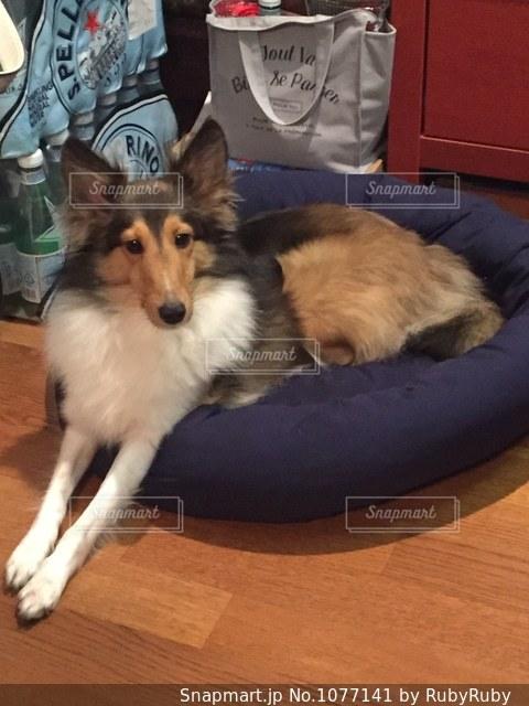 テーブルの上に横たわる犬の写真・画像素材[1077141]