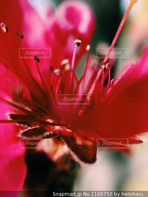 桜の花3の写真・画像素材[1100750]