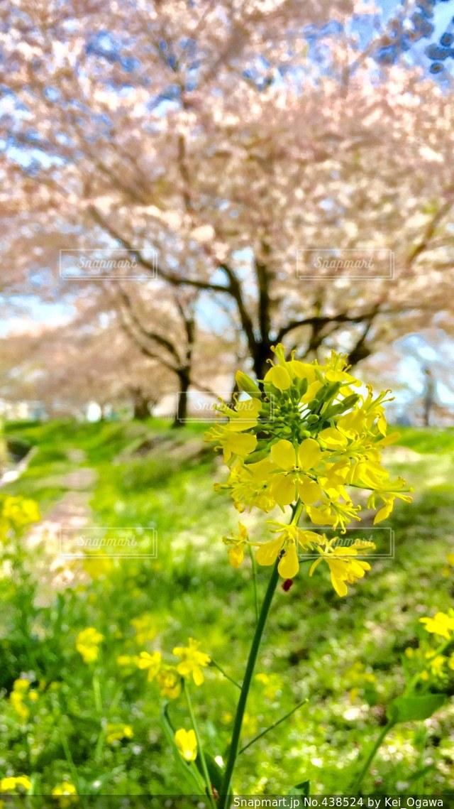 菜の花と桜の写真・画像素材[438524]