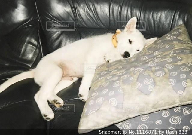 ソファーで横になっている子犬の写真・画像素材[1116871]