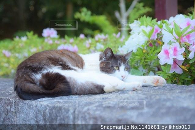 つつじと猫の写真・画像素材[1141681]