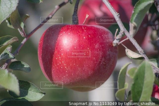 収穫間近のりんごの写真・画像素材[1113049]