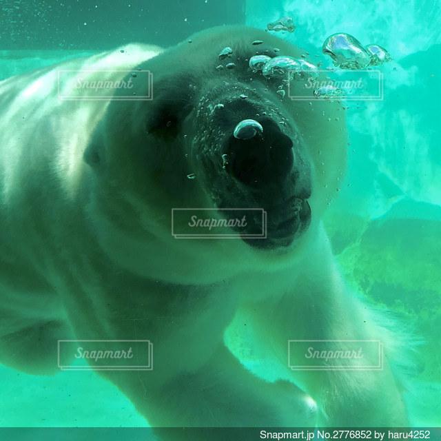 泳ぐ熊の写真・画像素材[2776852]