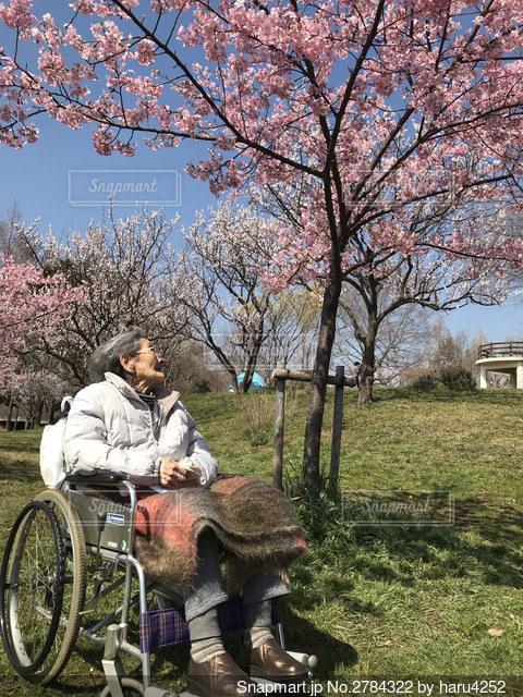 一緒に見たい桜の写真・画像素材[2784322]