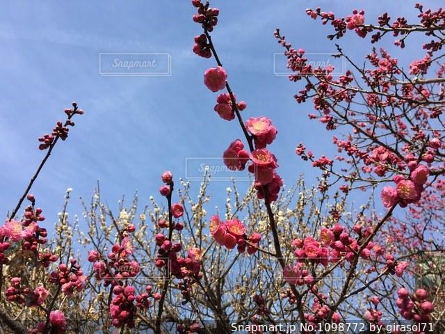 北野天満宮の梅の写真・画像素材[1098772]