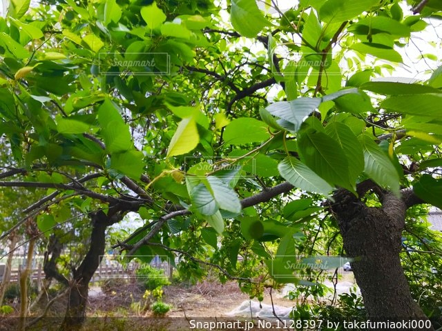 新緑の時季の梅の木の写真・画像素材[1128397]