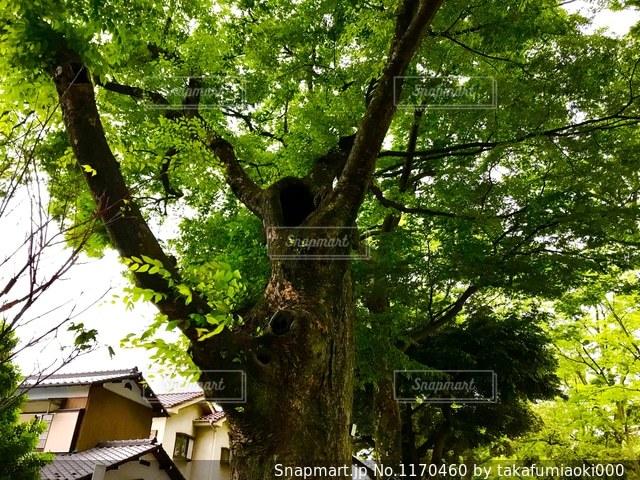 武蔵一宮氷川神社の参道の樹木の写真・画像素材[1170460]