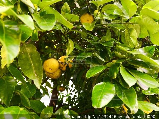 夏みかんの樹木の写真・画像素材[1232426]
