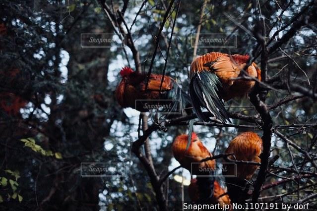 木の上で眠っている鶏の写真・画像素材[1107191]