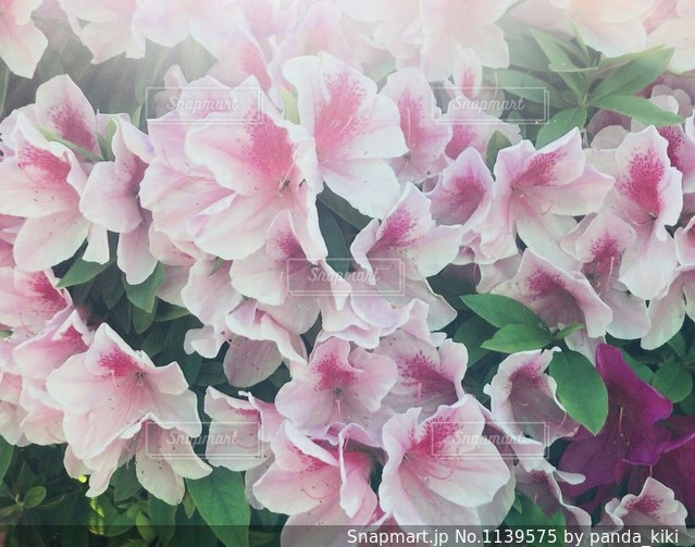 薄いピンクのツツジの花の写真・画像素材[1139575]