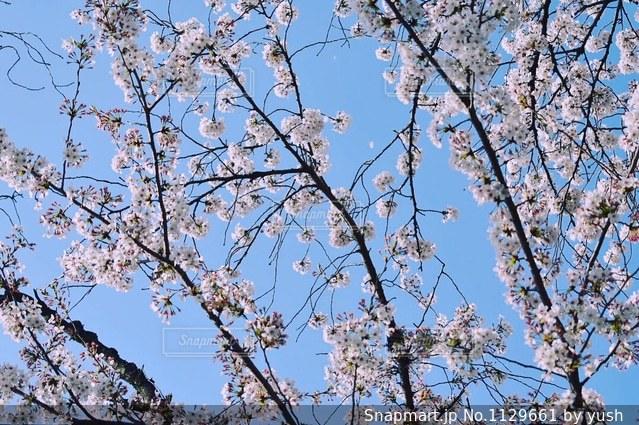 桜と青空の写真・画像素材[1129661]