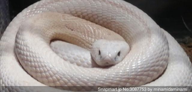 白蛇のクローズアップの写真・画像素材[3087753]