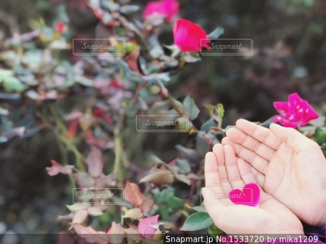 バラとハートの花びらを持つ女の子 1の写真・画像素材[1533720]