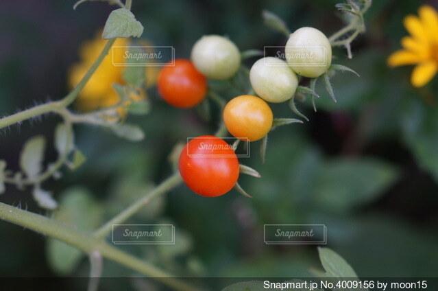 可愛いトマトの写真・画像素材[4009156]