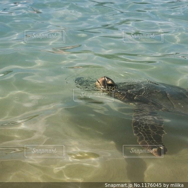 ウミガメの息つぎの写真・画像素材[1176045]