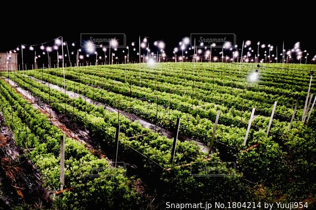 沖縄の電照菊の写真・画像素材[1804214]
