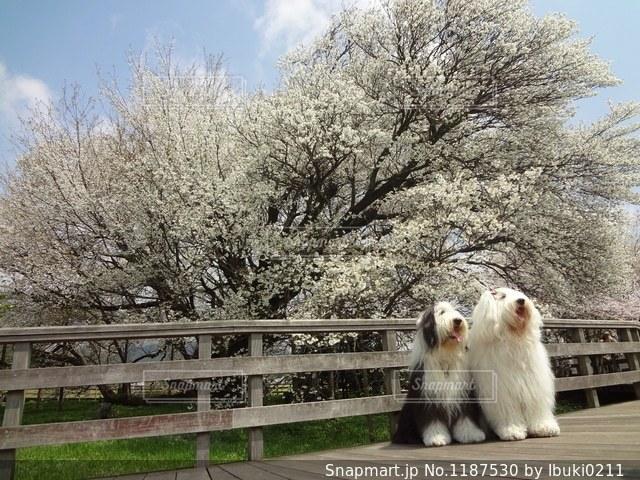 一心行の大桜満開凄い🌸🌸🌸の写真・画像素材[1187530]