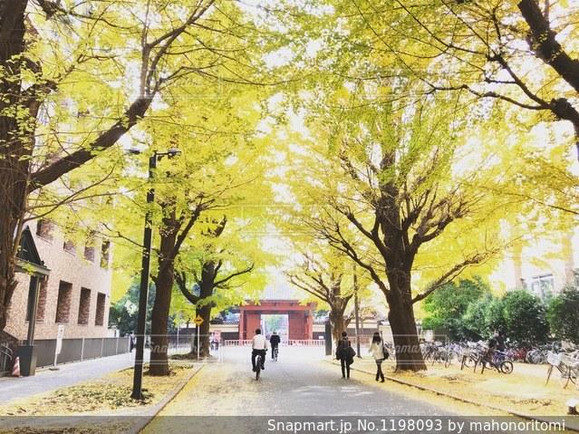 東京大学本郷キャンパス銀杏並木の写真・画像素材[1198093]