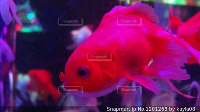 赤い金魚の写真・画像素材[1201268]