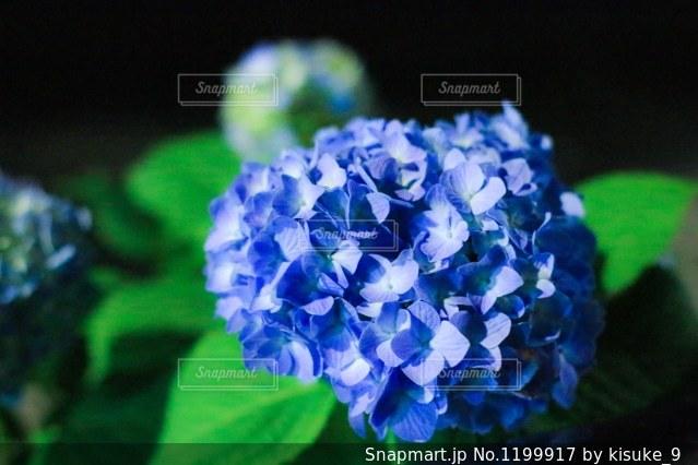 夜の紫陽花の写真・画像素材[1199917]