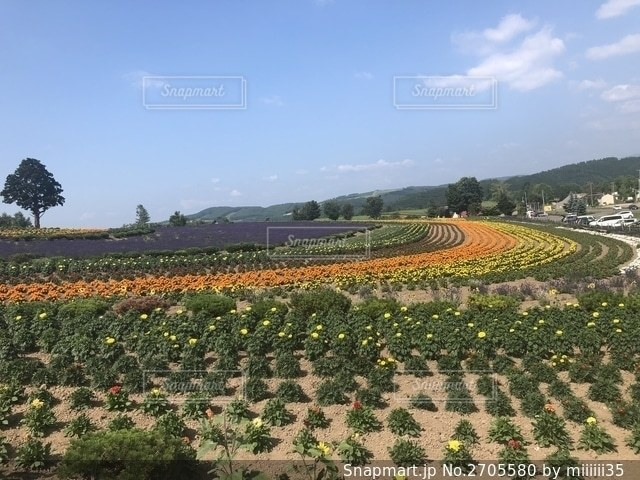 野原の黄色い花の写真・画像素材[2705580]