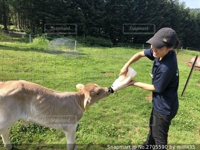 牛にご飯をあげる自分の写真・画像素材[2705590]