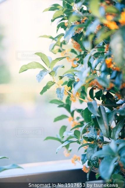 金木犀の写真・画像素材[1517653]
