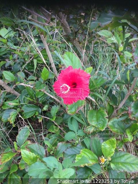 植物に赤い花 ハイビスカスの写真・画像素材[1223253]