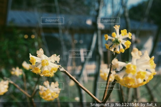 ミツマタの写真・画像素材[1228546]