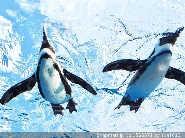 空飛ぶペンギンの写真・画像素材[1566871]