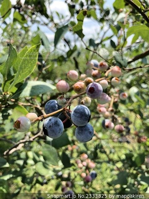 ブルーベリーの木の写真・画像素材[2333825]