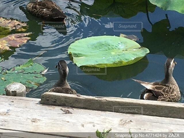 水の中を泳ぐ鳥の写真・画像素材[4771424]
