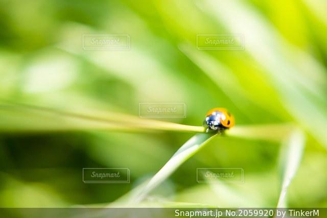 てんとう虫の写真・画像素材[2059920]