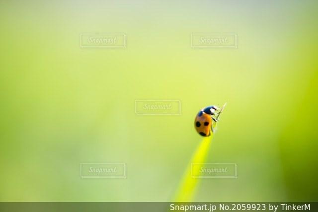 てんとう虫の写真・画像素材[2059923]