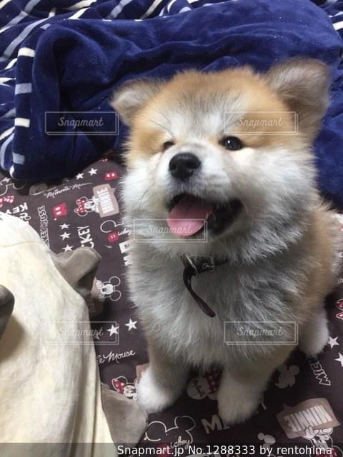 笑顔で座る秋田犬の写真・画像素材[1288333]