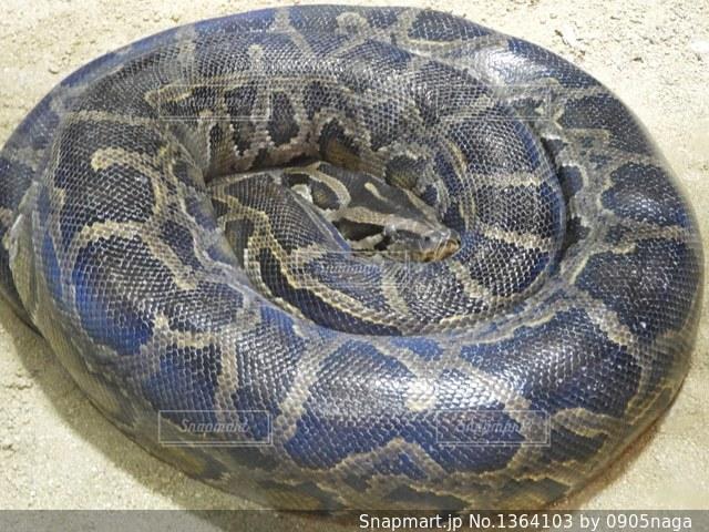 とぐろを巻く蛇の写真・画像素材[1364103]