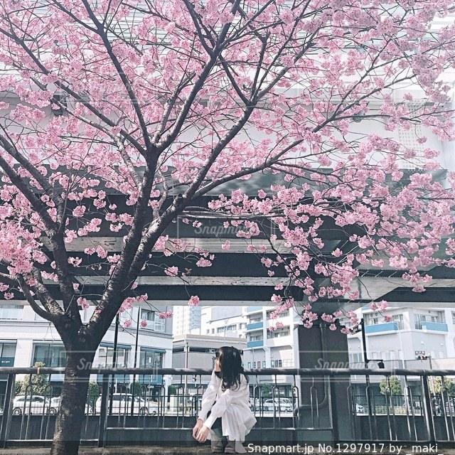 濃いピンクの桜の写真・画像素材[1297917]
