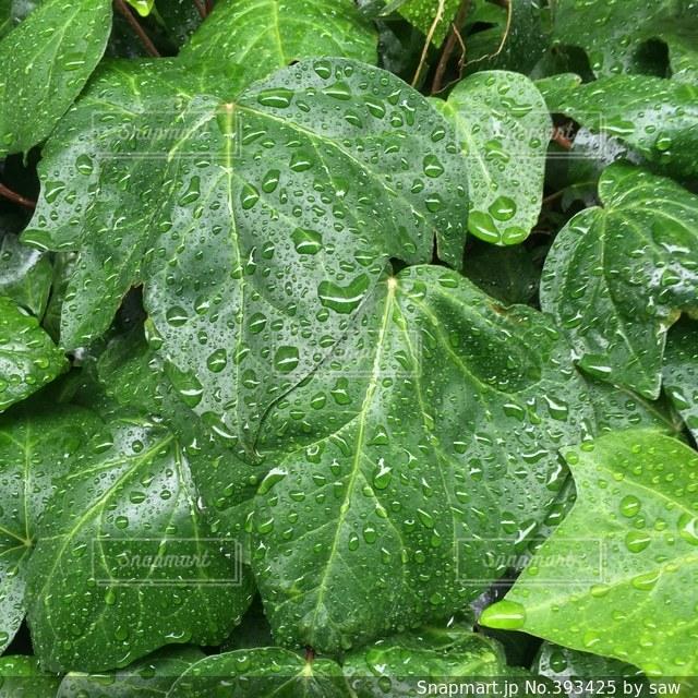 自然,雨,緑,植物,水,水滴,葉,雨上がり,壁紙