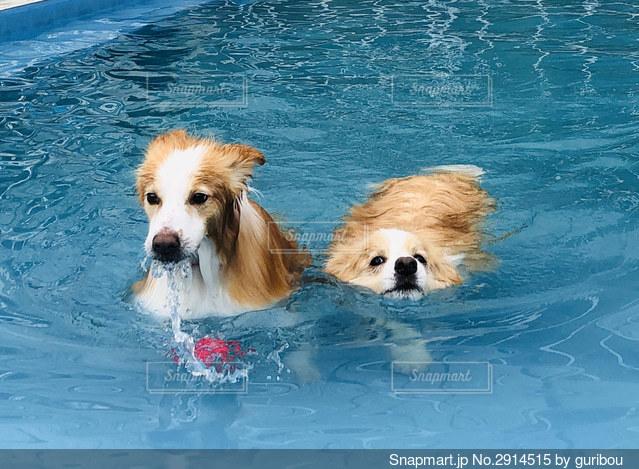 水のプールで泳ぐ犬の写真・画像素材[2914515]